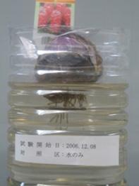 ヒヤシンス20061218